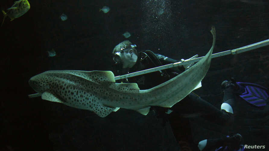 FILE - Zookeeper Guido Westhoff uses a ruler to measure a leopard shark during an animal stocktaking at the Hagenbeck Zoo in Hamburg, Germany, Dec. 29, 2010.