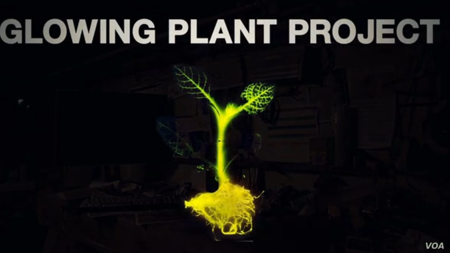 Scientists are trying to develop bioluminescent plants that someday could replace lightbulbs and streetlights.