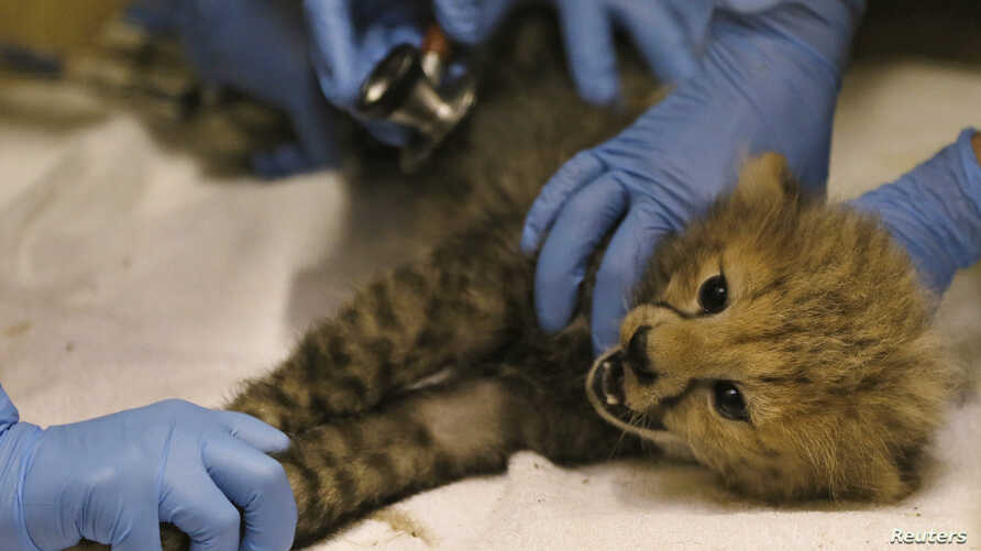 FILE - A Cheetah cub is examined by veterinary staff during a health check in its enclosure at Chester Zoo in northern England, July 31, 2013.