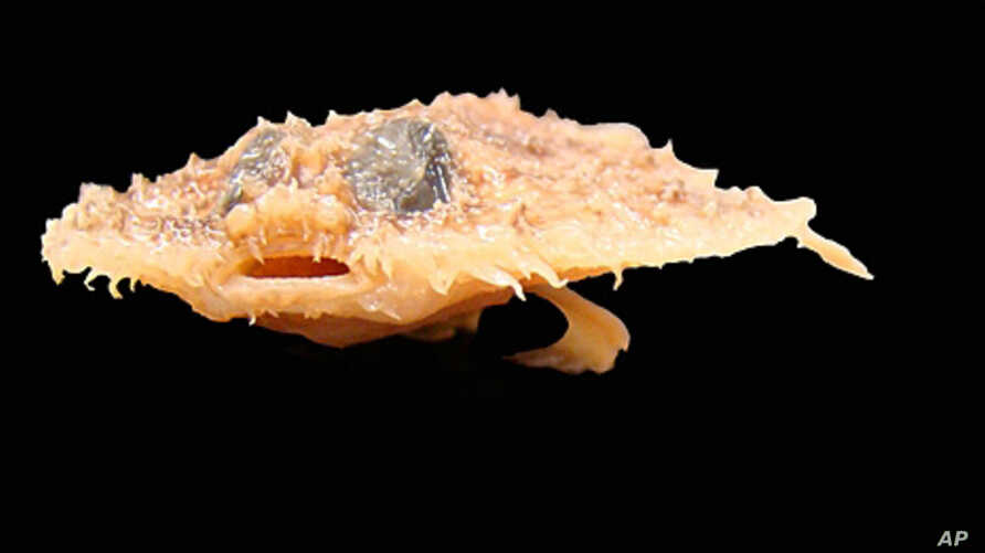 The Louisiana Pancake fish, which resembles a walking bat, was discovered in the Gulf of Mexico.