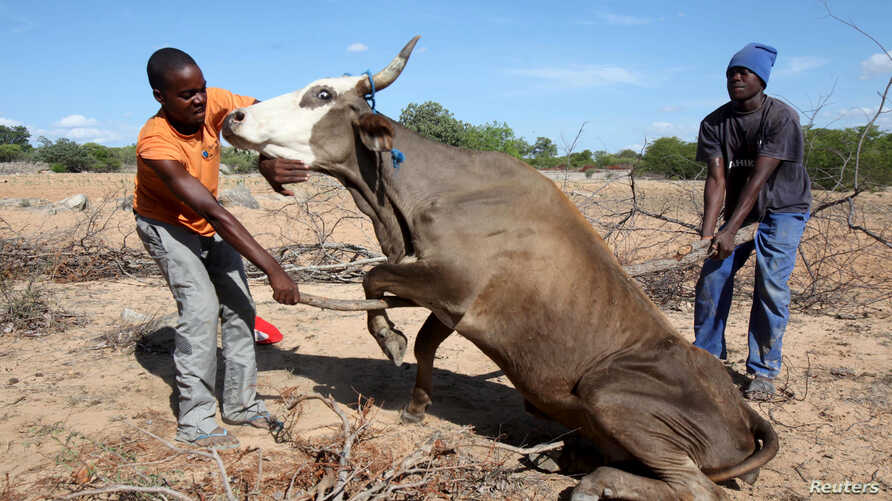 Zimbabwean men attempt to get a malnourished cow on its feet  in rural Masvingo, in this picture taken January 21, 2016.