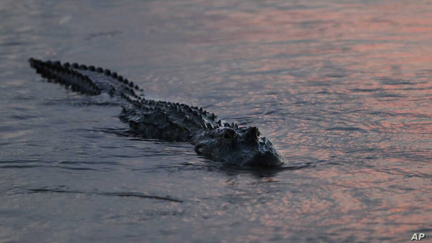 In this Oct. 3, 2018 photo, an alligator floats at dusk in the Davis Pond Diversion in Luling, La.