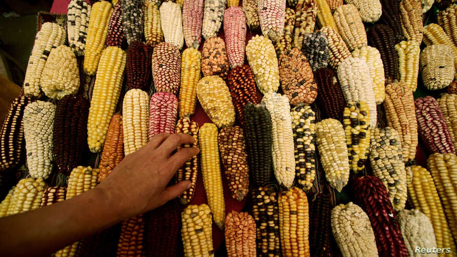 A farmer sells different types of corn native to the Andes at the Gastronomic Fair 'Mistura' 2010 in Lima September 7, 2010.