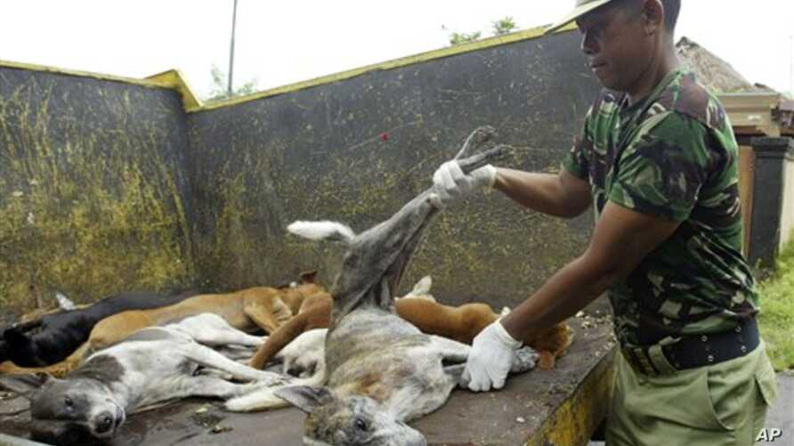 A Balinese volunteer holds culled dogs suspectedly infected with rabies at Kutuh village in Jimbaran, Bali, Indonesia, Wednesday, Feb. 4, 2009. Authorities in Bali are battling a rabies outbreak that has spread across the island and is threatening it