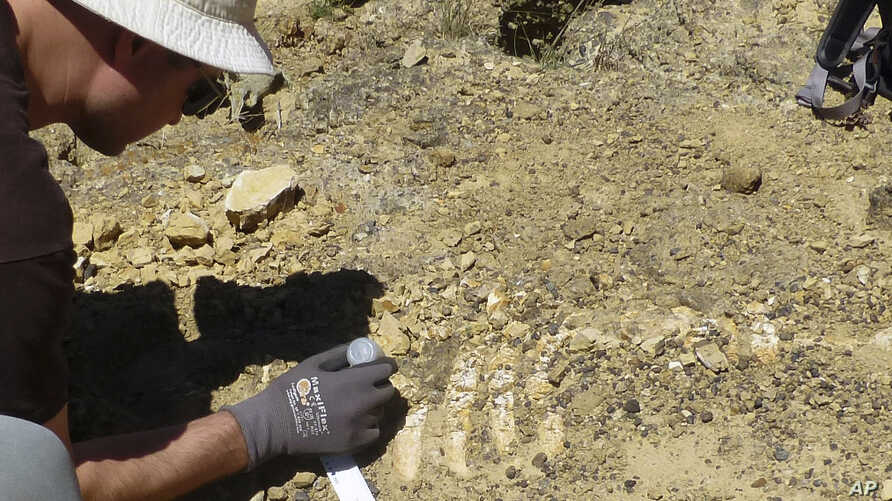 Dr. Jonathan Hoffman, paleontologist with the Santa Barbara Museum of Natural History works on an ancient Sea Cow fossil on Santa Rosa Island In this July 21, 2017 photo provided by the National Park Service..