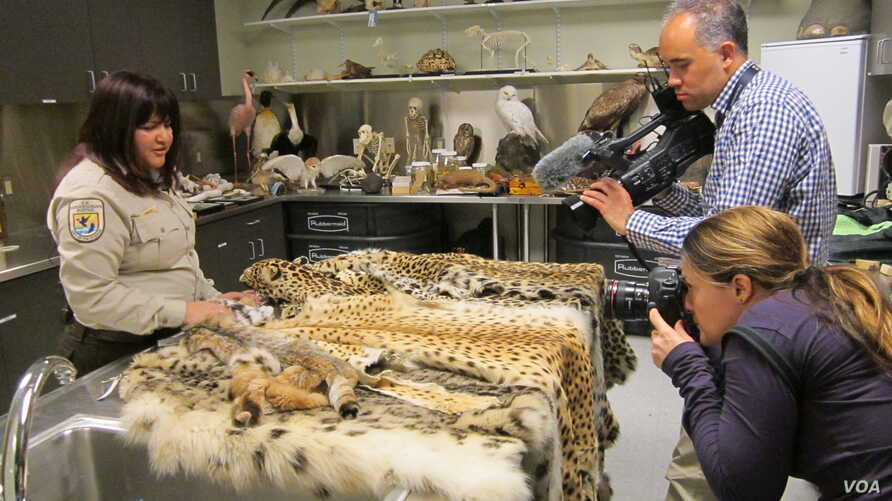 FILE - A wildlife inspector shows seized illegal pelts to photographers at the wildlife evidence laboratory at the U.S. Fish and Wildlife Service's Valley Stream, New York office in this 2014 photo.