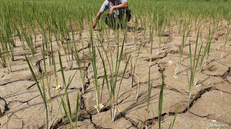 FILE - A farmer removes dried plants from his parched paddy field on the outskirts of Ahmedabad, India, Sept. 8, 2015.