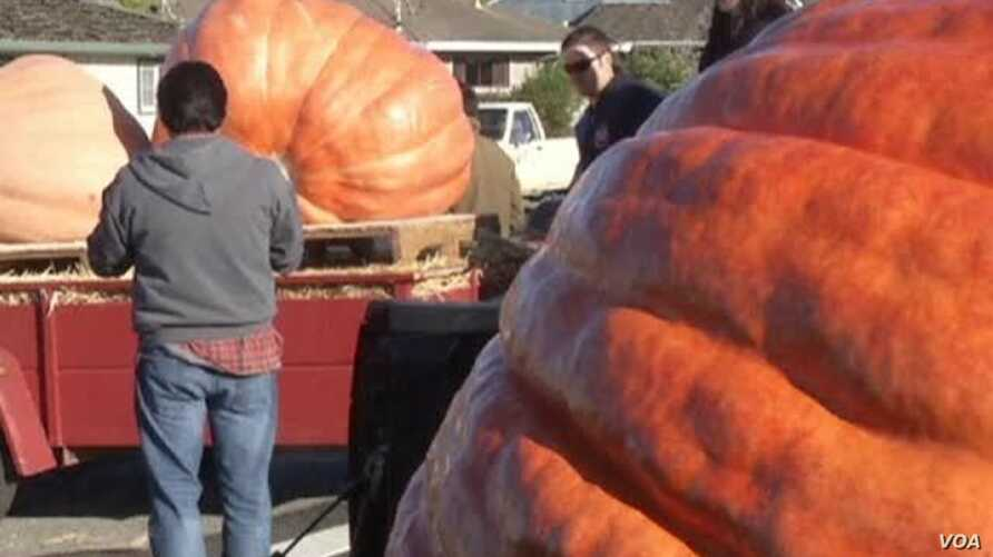 Better Known For Grapes, Napa Valley Also Produces Giant Pumpkins