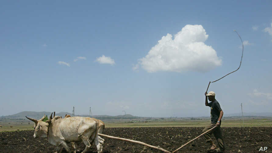 A farmer ploughs his land, Tuesday, May 10, 2005 on the outskirts of the Ethiopian capital, Addis Ababa.