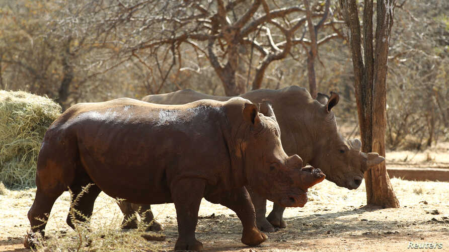 Rhinos with cut horns walk at a farm in Musina, Limpopo province, May 9, 2012