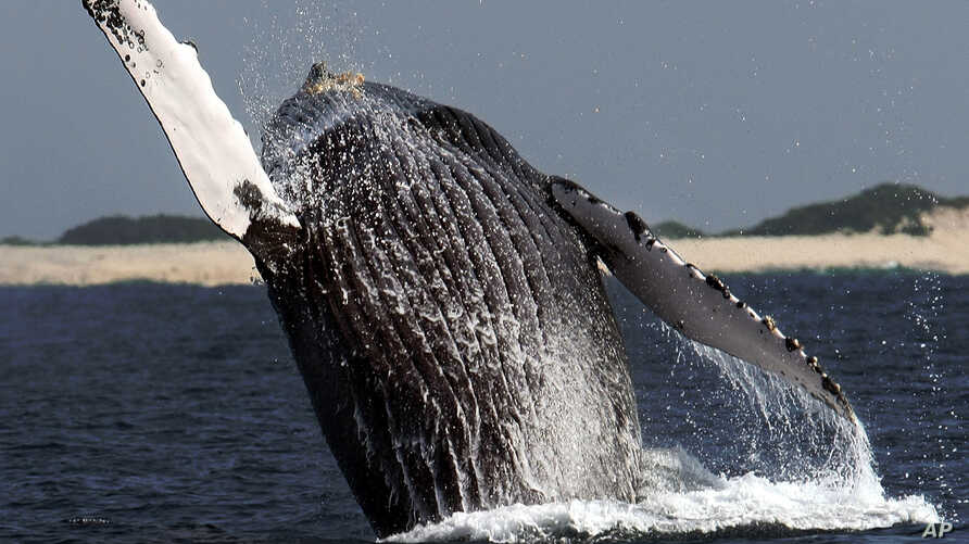 A humpback whale jumps at a whale watching point, off Okinawa, southwestern Japan, in this file photo.