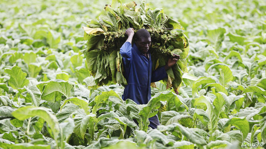 A farm worker harvests tobacco leaves at a farm ahead of the tobacco selling season in Harare, Zimbabwe, March 3, 2015.