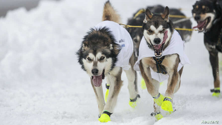 The lead dogs of musher Brent Sass race down 4th Avenue at the ceremonial start to the Iditarod dog sled race in downtown Anchorage, Alaska, Mar. 2, 2013.