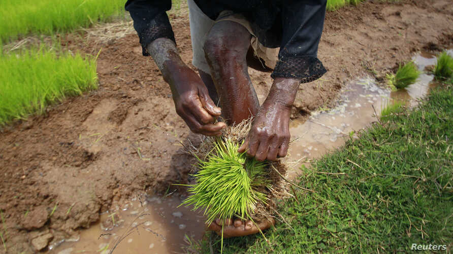 FILE - A farmer harvests rice seedlings in a nursery paddy field on the outskirts of Madagascar's capital, Antananarivo, Oct. 30, 2013. Researchers found that rice and mung beans remains show Southeast Asians settled the African island 1,300 years ag