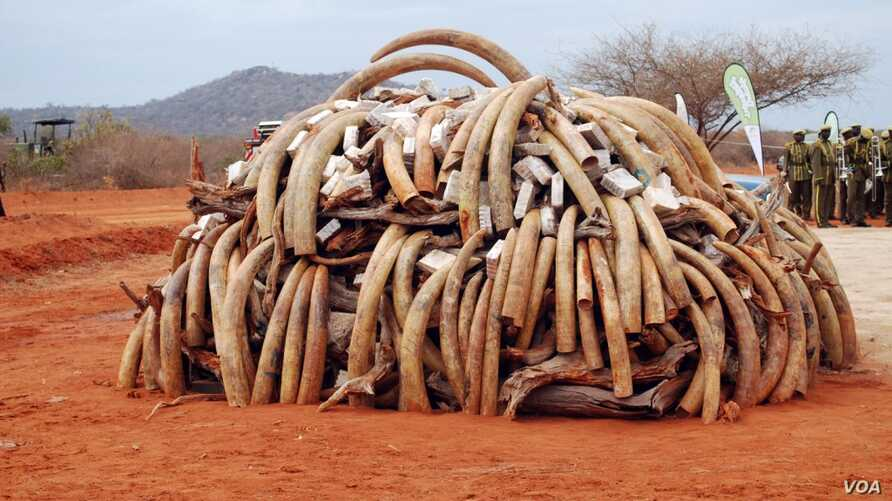 Ivory that was confiscated in Singapore in 2002 and returned to Kenya is burned by Kenya Wildlife Service on July 20,2011 (IFAW/S. Njumbi)