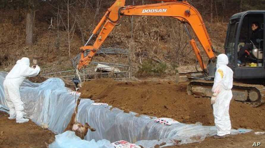 Workers bury a cow slaughtered by order from health authorities after they were found to be exposed to foot-and-mouth disease at a farm in Chuncheon, about 90 km (55 miles) northeast of Seoul, 23 Dec 2010.
