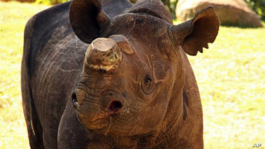 Phila , a five-year-old critically endangered Black Rhino, moved to the Johannesburg Zoo, where she is kept safely, away from poachers (file photo)