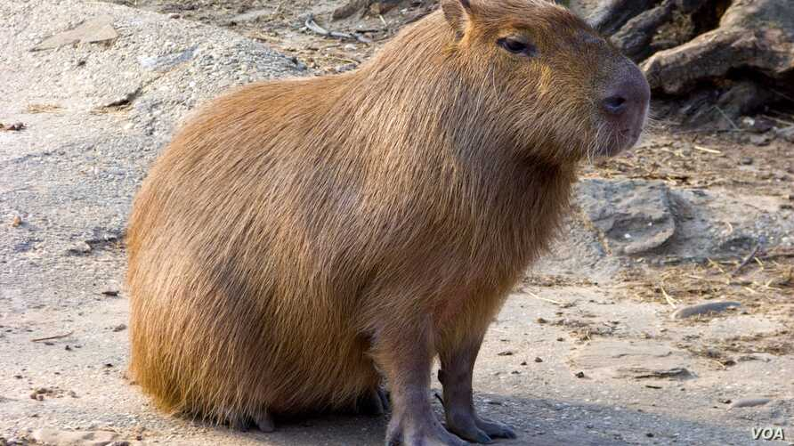 Capybaras have apparently found much to explore on the Rio Olympics golf course.