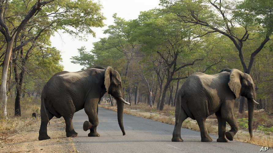 FILE -- An elephant crosses a road in the Hwange National Park, Zimbabwe, Oct. 1, 2015. Zimbabwe's wildlife agency said Jan. 5, 2017, it sold 35 elephants to China to ease overpopulation and raise funds for conservation, amid criticism from animal we