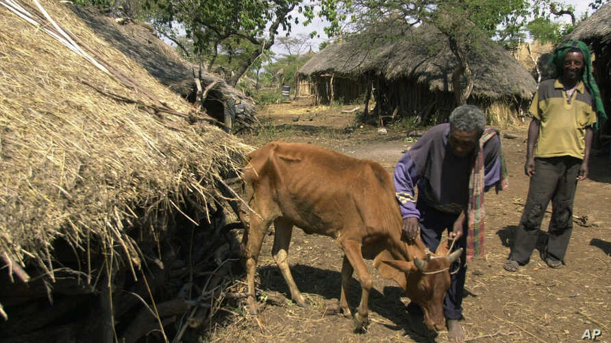 Worku Tegegne pets his cow in Ghibe Valley, southwest of Addis Ababa, Ethiopia, which is suffering from bovine trypanosomosis, transmitted by tsetse flies.