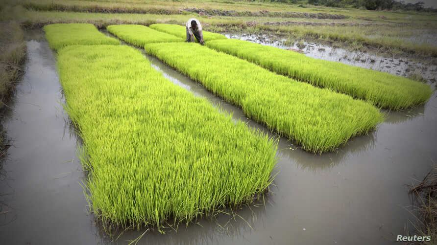 A man works in a rice field in Nanan, Yamoussoukro, Ivory Coast, Sept. 27, 2014.