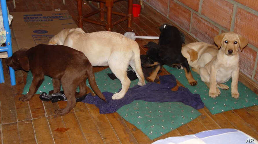 This 2005 photo provided by U.S. Drug Enforcement Administration officials shows puppies rescued from a farm in Colombia destined for use by a U.S. veterinarian working for a Colombian drug-trafficking ring. Veterinarian Andres Lopez Elorza used the