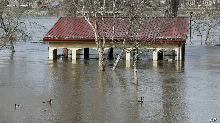 Geese and ducks swim in the floodwaters of the Mississippi River which cover Harriet Island, March 27, 2019 in St. Paul, Minn.