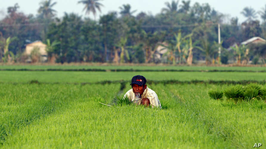 A farmer works in a rice field in Naypyitaw, Myanmar, March 2, 2018.