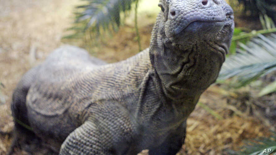 FILE - This 7-year-old Komodo dragon, pictured at the Cincinnati Zoo in Ohio, is 7 feet long and weighs 100 pounds. Males in the wild average 8 to 9 feet and about 200 pounds, according to the Smithsonian National Zoological Park, but they can grow m
