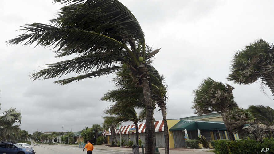 Palm trees sway in wind, October 6, 2016, in Vero Beach, Florida, ahead of the arrival of Hurricane Matthew.