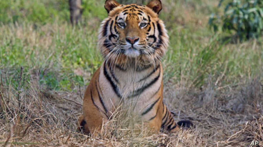 Raja, an eight-year-old rescued Royal Bengal Tiger, rests inside South Kahayar Bari tiger rescue center at Jaldapara Wildlife Sanctuary, about 160 km (99 miles) north of the eastern city of Siliguri, India, February 2010. (file photo)