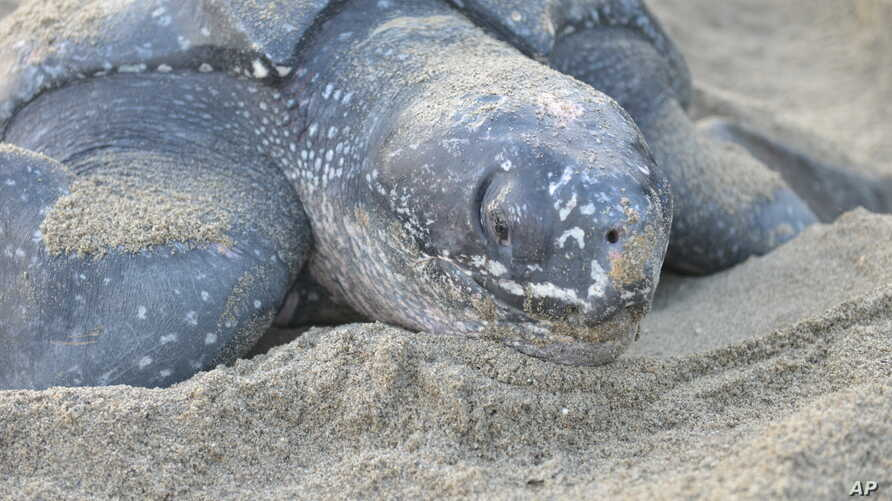 FILE - A leatherback turtle weighing almost half a ton prepares to bury her eggs in the sand at daybreak on May 2, 2013, on a narrow strip of beach in Grande Riviere, Trinidad.