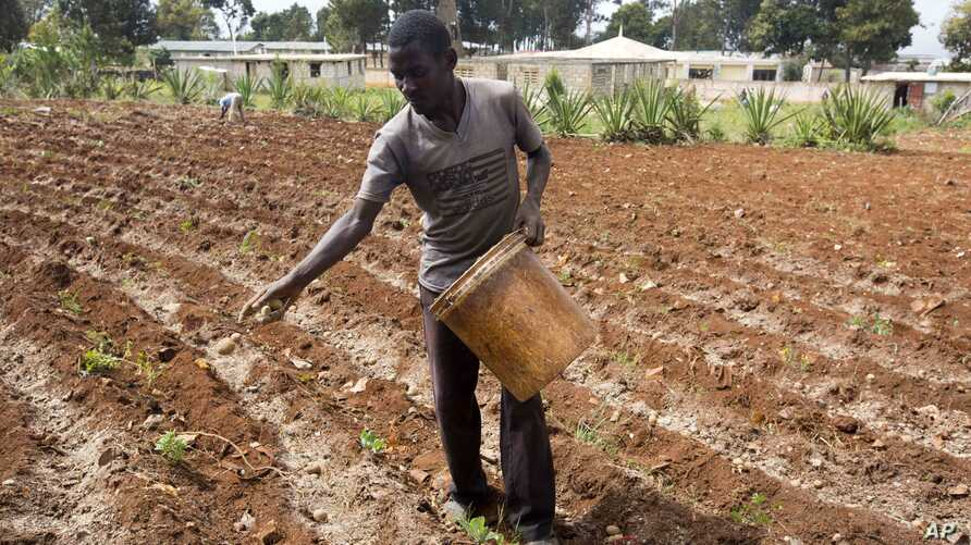 FILE - Roodymanche Lomane plants potatoes in his small vegetable plot in Oriani, Haiti, Feb. 15, 2016. A strong El Nino weather phenomenon left many places in Latin America and the Caribbean stricken by drought this year.