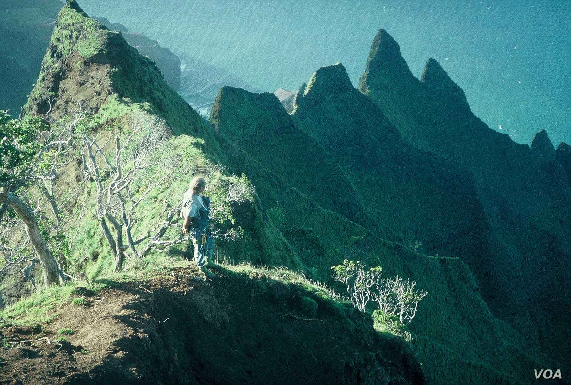 Steve Perlman, on the Kalalau cliffs on Kauai, Hawaii, pioneered rappelling down high cliffs to save endangered plant species. (Photo by Ken Wood)