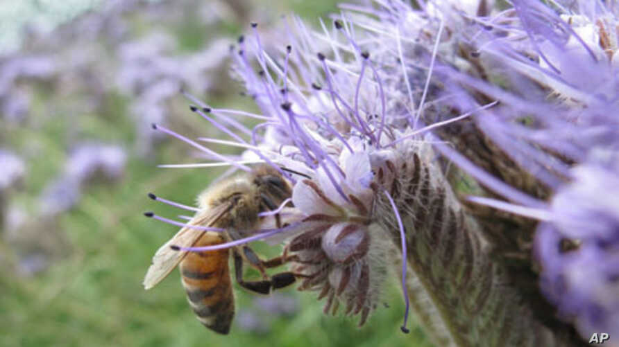 The pollination efforts of honeybees are worth an estimated $18 billion per year in the United States.