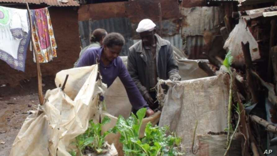 Urban farmers grow spinach, kale and other vegetables in simple soil-filled sacks in a slum of Nairobi, Kenya.