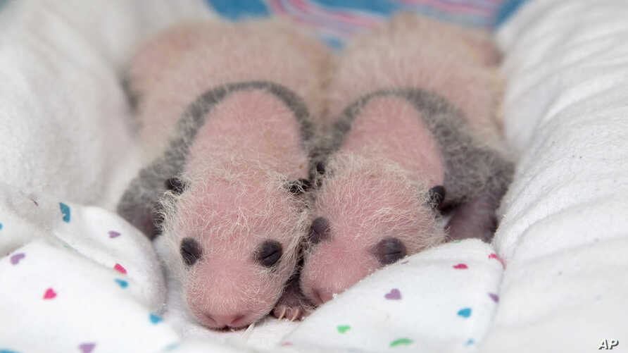 In this July 29, 2013 photo released by Zoo Atlanta, twin newborn giant panda cubs lie in a blanket at Zoo Atlanta.