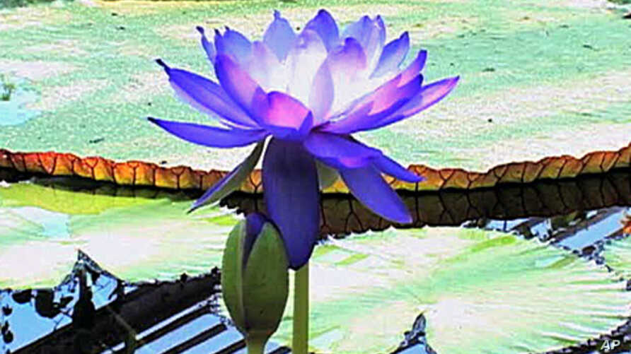 The world's largest water lilies are blooming in a tropical greenhouse at London's Kew Gardens.