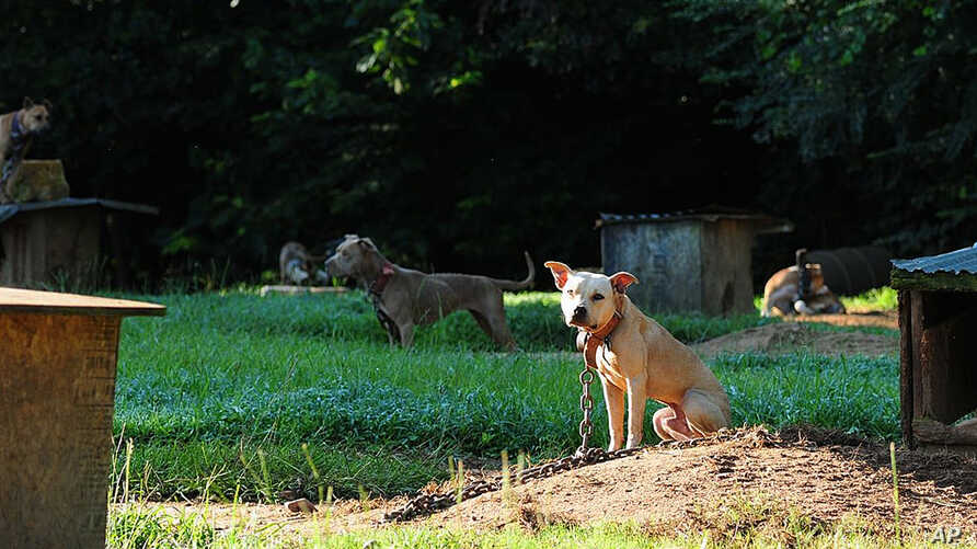 Dogs sit at a home in Auburn, Ala. in this photo provided by the ASPCA. A federal and state investigation into dog fighting and gambling has resulted in the arrest of 12 people from Alabama, Georgia, Mississippi and Texas, Aug. 23, 2013.
