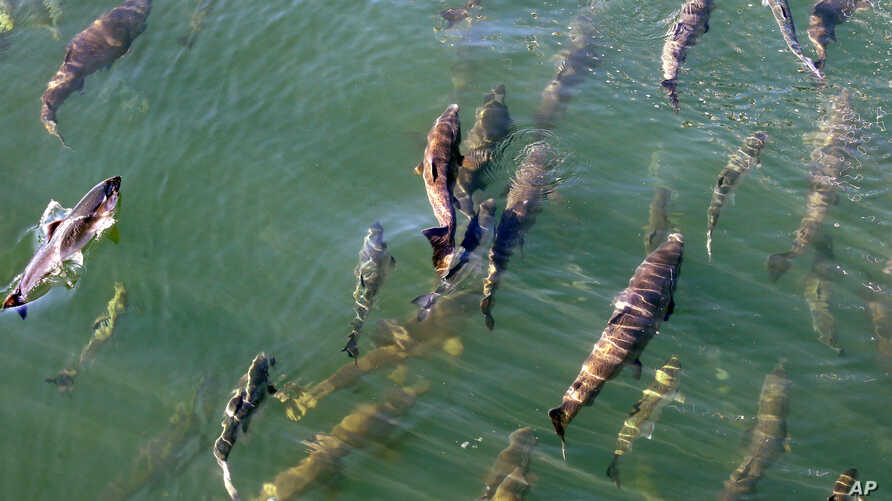 Salmon circle just below the surface inside a lock where they joined boats heading from salt water Shilshole Bay into fresh water Salmon Bay at the Ballard Locks in Seattle, Sept. 14, 2017.