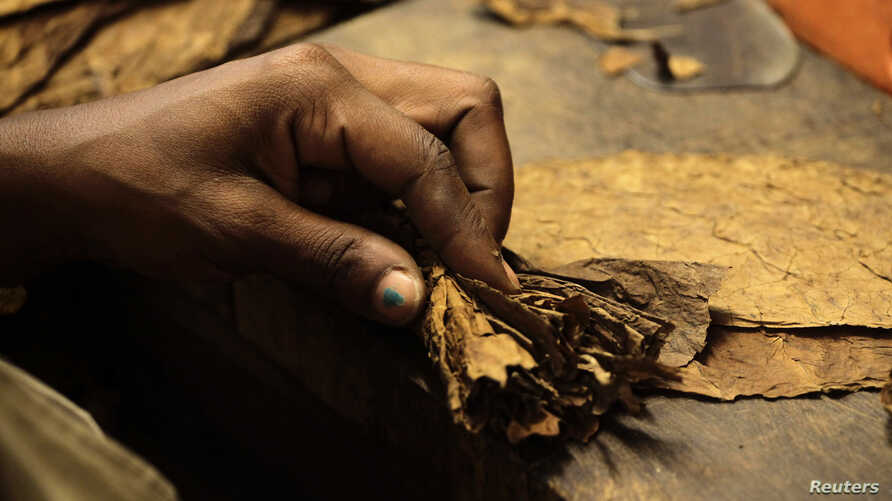 A woman rolls a cigar at the Cohiba cigar factory 'El Laguito' in Havana September 10, 2012.