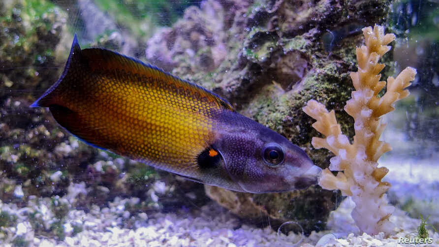 A colorful reef fish called a tubelip wrasse is seen feeding on coral in this undated photo released by James Cook University researchers in Townsville, Queensland, Australia, June 5, 2017. (Courtesy Victor Huertas / David Bellwood)