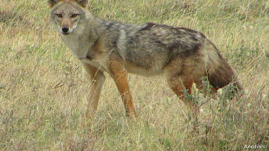 A golden jackal (Canis anthus) is seen in Serengeti National Park, Tanzania in this undated handout picture.