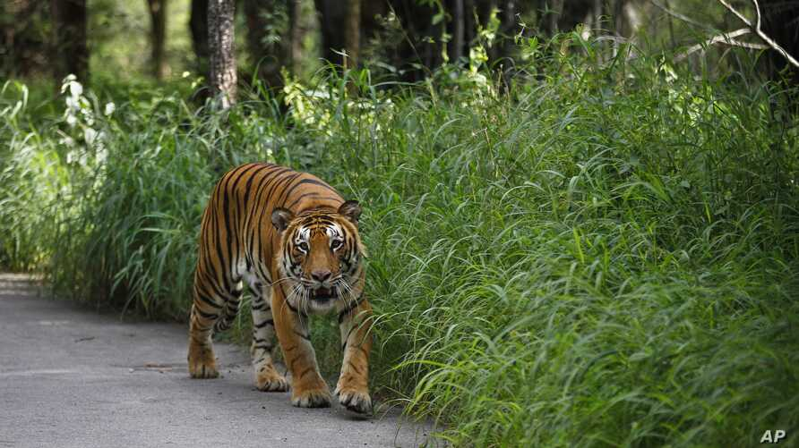 FILE - A Bengal tiger walks along a road ahead on Global Tiger Day in the jungles of Bannerghatta National Park, 25 kilometers (16 miles) south of Bangalore, India, July 29, 2015.