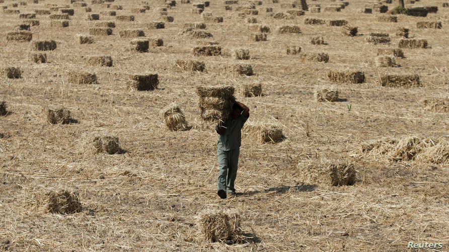 FILE - A worker carries a bale of dry millet at a field on the outskirts of the western Indian city of Ahmedabad, Nov. 17, 2011.