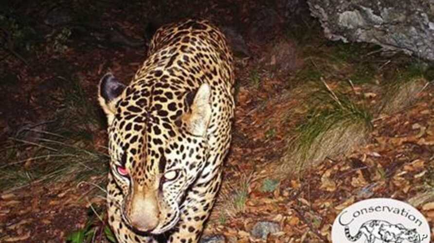 This undated still frame taken from the first publicly released video of the only known wild jaguar in the United States roaming in a mountain range just south of Tucson, Ariz.