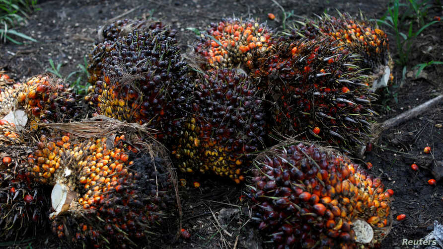 FILE - Palm oil fruits are pictured at a plantation in Chisec, Guatemala, Dec. 19, 2018.