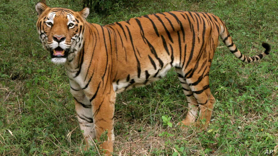 A tiger looks on in the jungles of Banergatta Biological Park, about 25 kilometers (16 miles) south of Bangalore, India (2006 file photo).