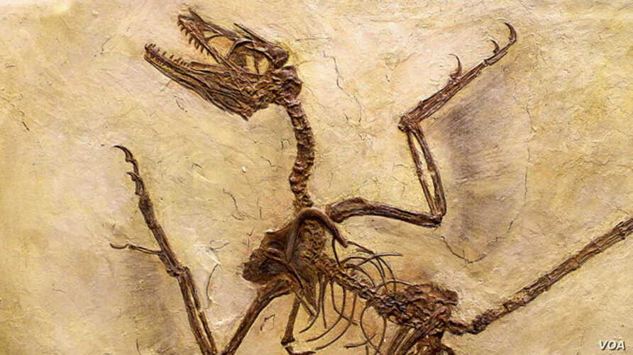 """The Microraptor lived about 130 million years ago and is believed to be a precursor to modern-day birds. (Via <a href=""""http://www.flickr.com/photos/cinaflox/"""">Flickr Creative Commons</a>"""