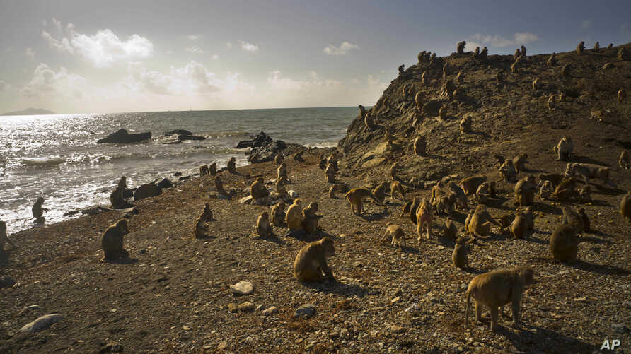 Monkeys move about on Cayo Santiago, known as Monkey Island, in Puerto Rico, Oct. 4, 2017.